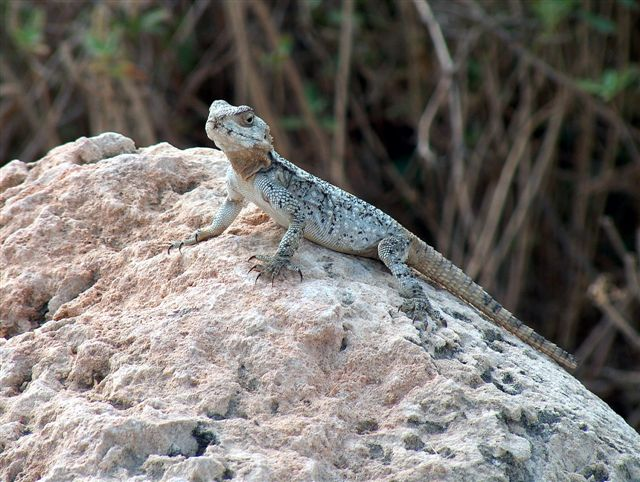 "photo ""Desert agama"" tags: nature, travel, Asia, wild animals"