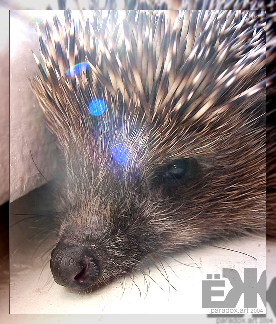 "photo ""Hedgehog"" tags: nature, portrait, wild animals"