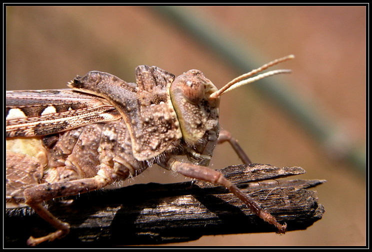 """photo """"Grasshopper"""" tags: nature, macro and close-up, insect"""