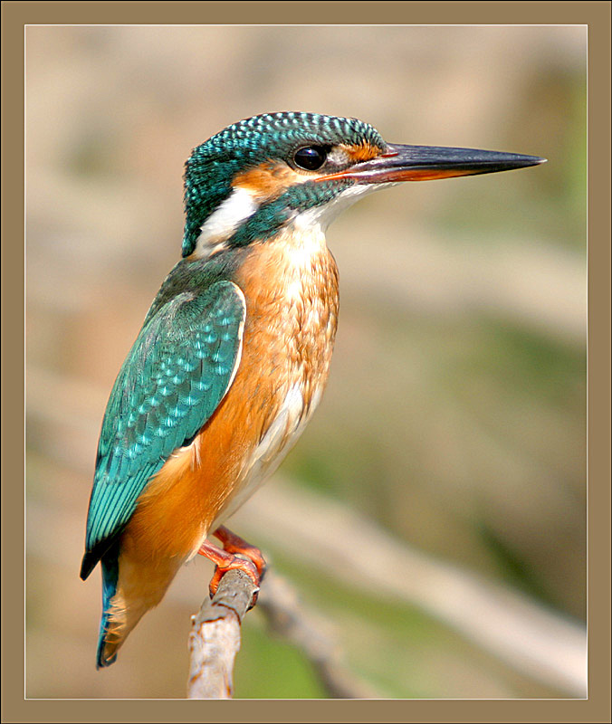 "photo ""Serial Killer - Kingfisher - Alcedo atthis"" tags: nature, wild animals"
