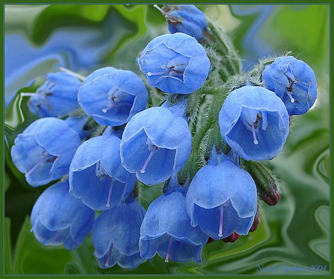 """фото """"Окопник"""" метки: природа, макро и крупный план, цветы"""