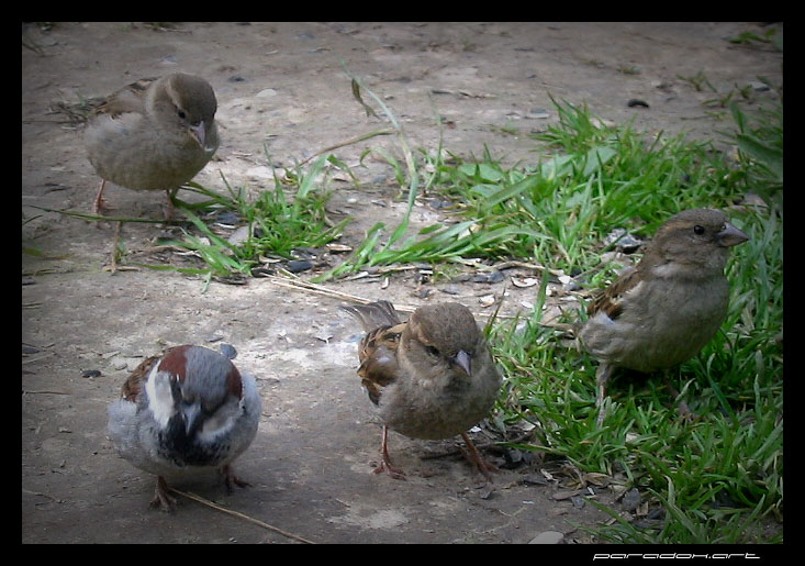 "photo ""Brothers sparrows"" tags: nature, genre, wild animals"