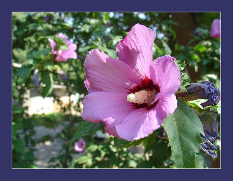 "photo ""Mallow"" tags: nature, flowers"