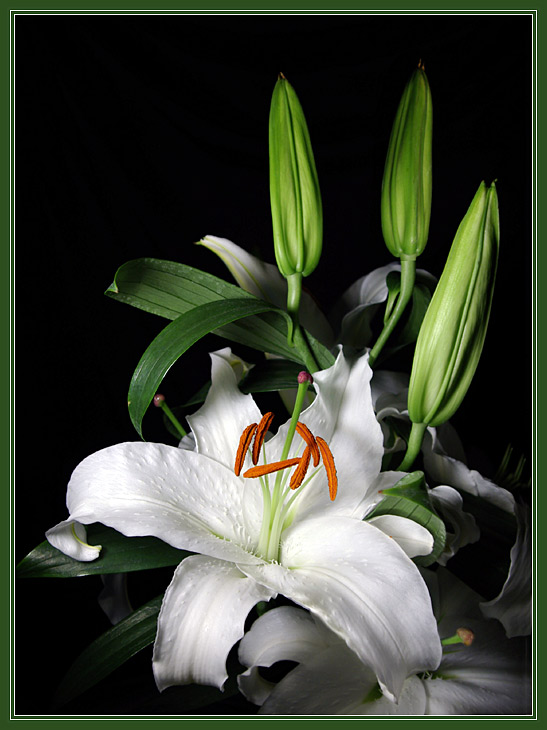 "photo ""The Lily"" tags: nature, still life, flowers"