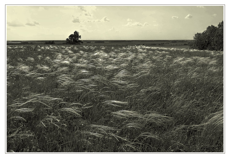 "photo ""Feather Grass"" tags: black&white, landscape, summer"