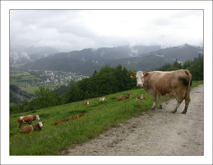"photo ""Tuernitz Cow"" tags: landscape, nature, mountains, pets/farm animals"