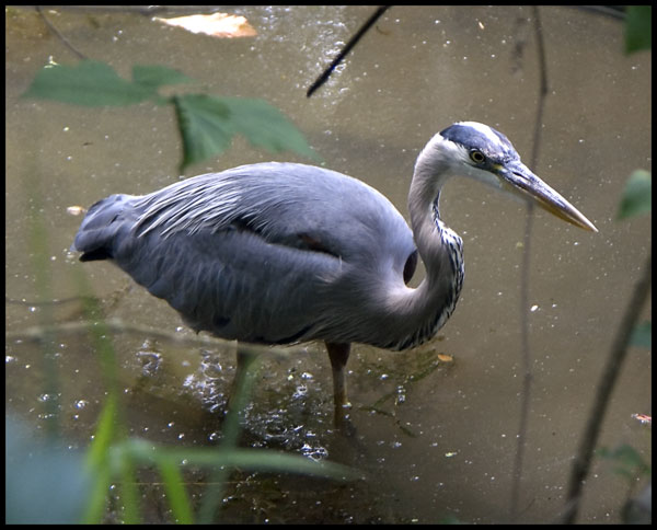 "photo ""The Great Blue Herron"" tags: nature, wild animals"