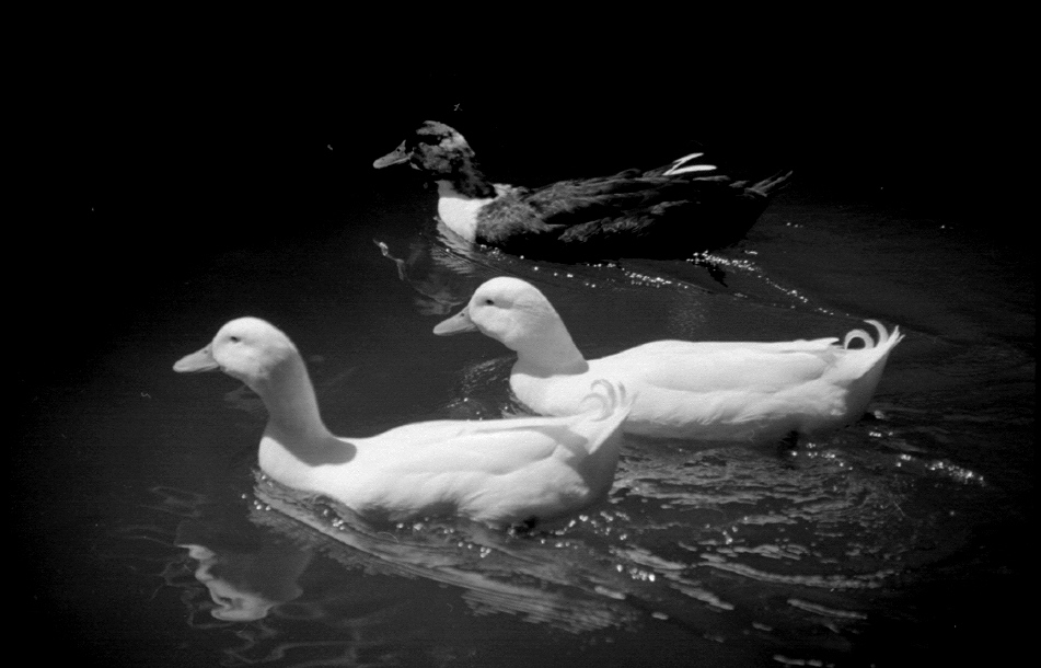 "photo ""Triad"" tags: nature, black&white, pets/farm animals"