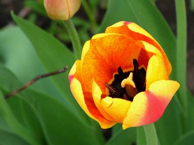 """фото """"Тюльпан"""" метки: природа, цветы"""