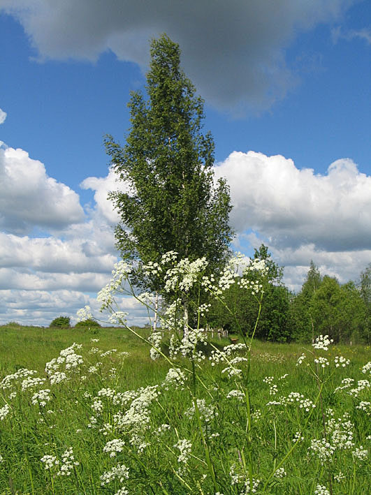 "photo ""Birch before a rain"" tags: landscape, nature, flowers, summer"