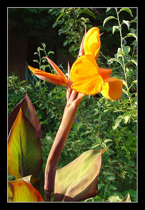 "photo ""Canna"" tags: nature, flowers"