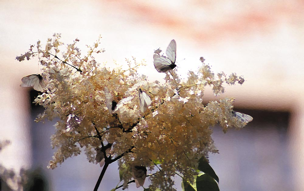 "photo ""Babushkas#"" tags: nature, flowers, insect"