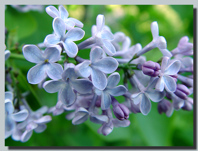 "photo ""Lilac..."" tags: nature, macro and close-up, flowers"