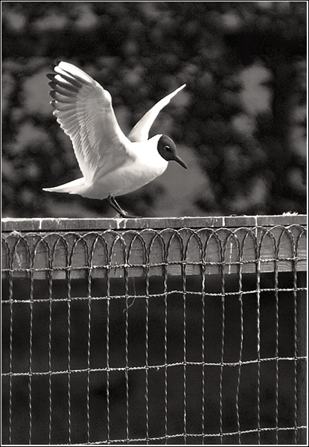 "photo ""Learning to fly"" tags: nature, black&white, wild animals"