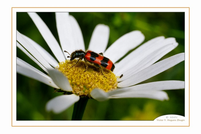 "photo ""On daisywheel"" tags: nature, flowers, insect"