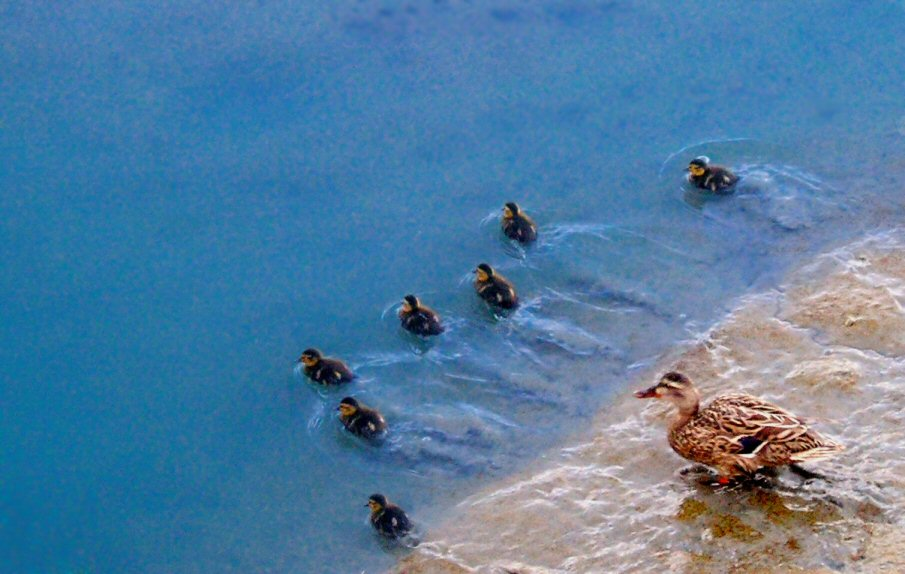 "фото ""First Swim"" метки: природа, дикие животные"