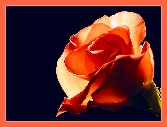 "photo ""Rose"" tags: macro and close-up, nature, flowers"