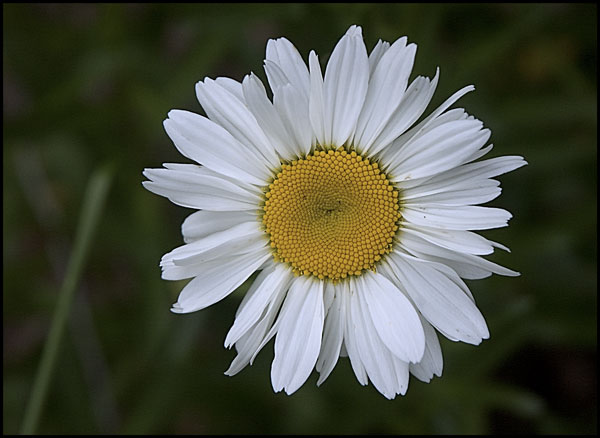 "photo ""Daisy May"" tags: nature, flowers"