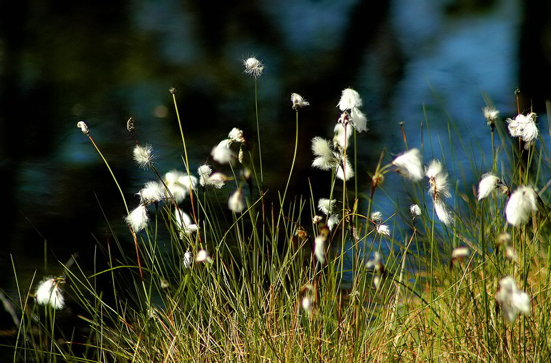 "photo ""Like cotton"" tags: nature, landscape, flowers, water"