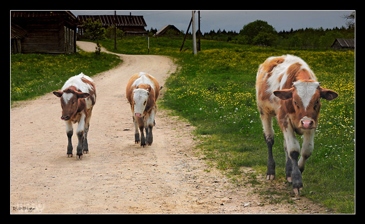 "photo ""Young Bulls 3. Prequel or the three is a Crowd Sto"" tags: portrait, nature, pets/farm animals"
