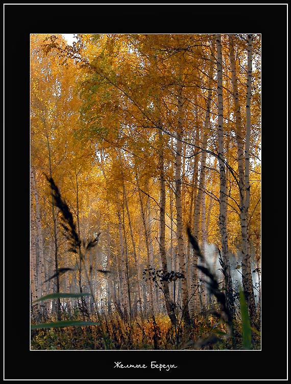 "photo ""Yellow Birch"" tags: landscape, autumn"
