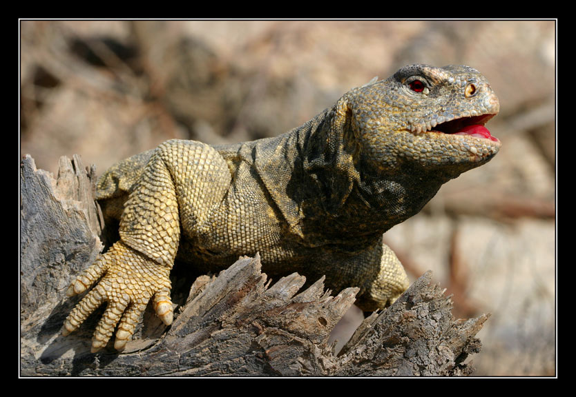 "photo ""Serial Killer - Uromastyx - Uromastix"" tags: nature, insect, wild animals"