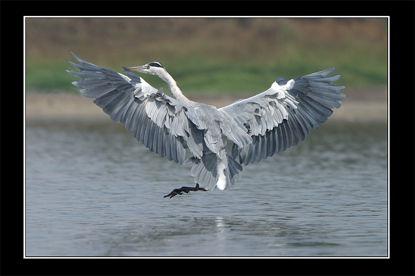 "photo ""Serial Killer - Grey Heron - Ardea cinerea"" tags: nature, wild animals"