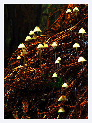"photo ""Gnomes of the forest floor"" tags: nature,"