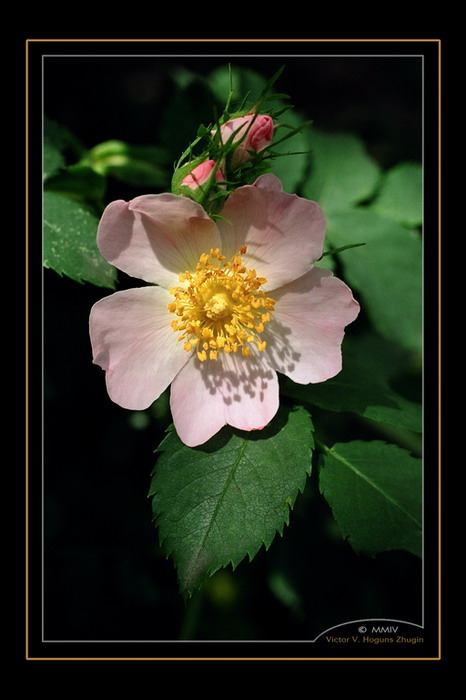 "photo ""Wild rose 2"" tags: nature, macro and close-up, flowers"
