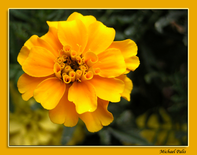 "photo ""Dressed in Yellow!"" tags: nature, macro and close-up, flowers"
