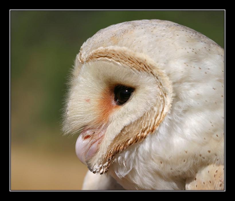 """фото """"Серийный Убийца - Амбарная Сова (Сипуха)"""" метки: природа, дикие животные"""