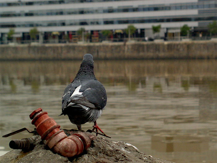 "photo ""Pigeon"" tags: architecture, nature, landscape, wild animals"