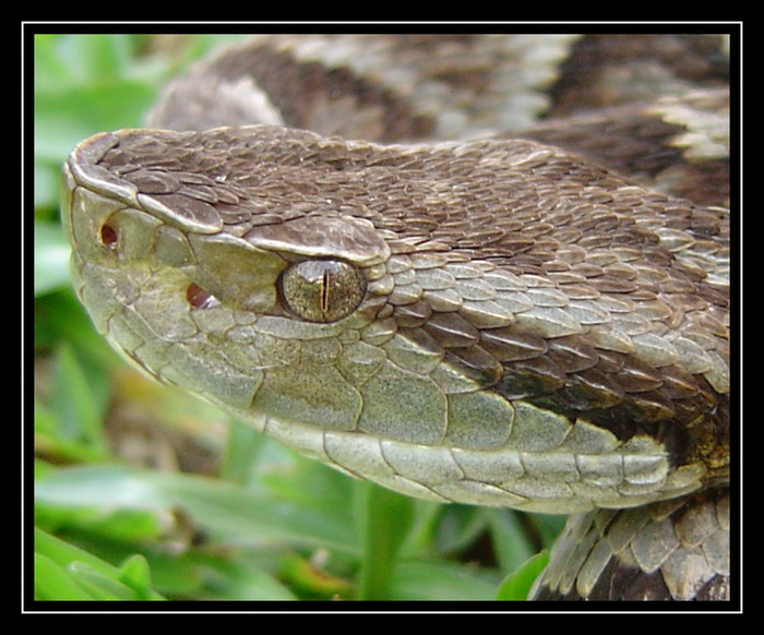 "photo ""Bothrops jararaca"" tags: nature, macro and close-up, wild animals"