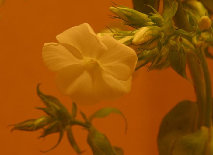 "фото ""Flower Dreams"" метки: природа, цветы"