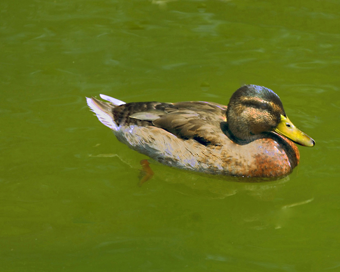 "photo ""DUCK"" tags: nature, wild animals"