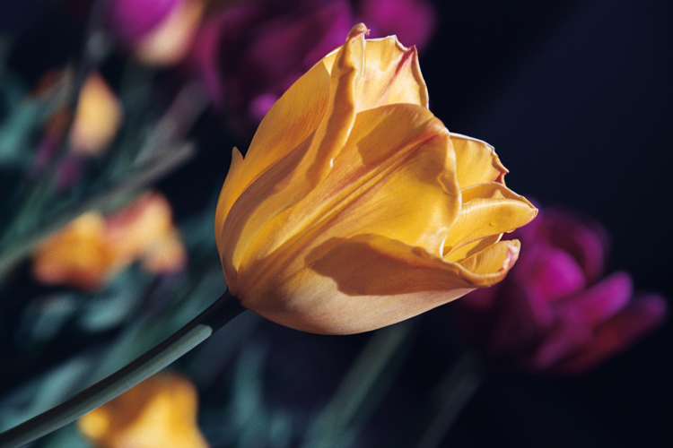 "photo ""Tulip"" tags: macro and close-up, nature, flowers"