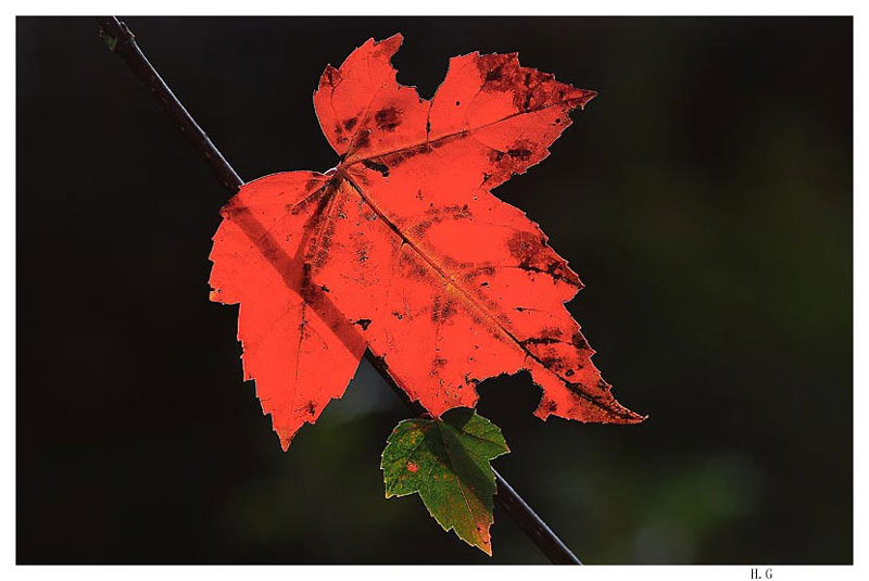 "photo ""A red leaf"" tags: nature, flowers"