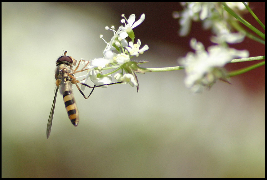 "photo ""A Flying Bug"" tags: macro and close-up, nature, flowers"