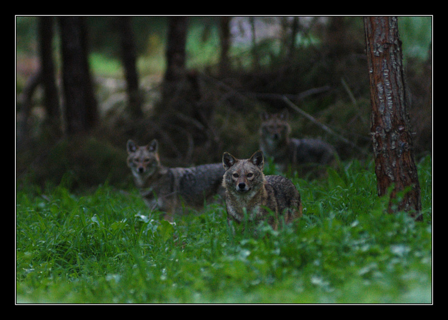 "photo ""Serial Killer - Wolf - Canis"" tags: nature, wild animals"