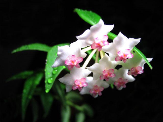 Девичьи слезы цветок комнатный