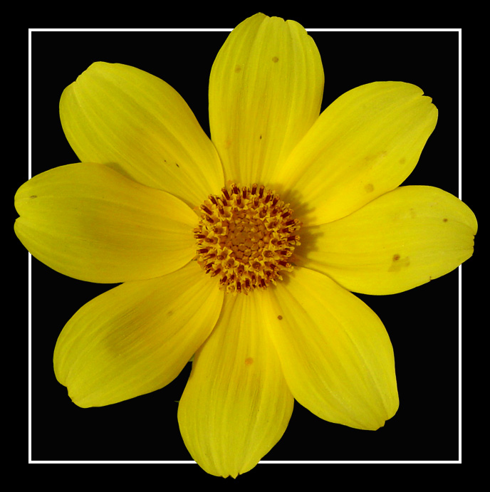 "фото ""Yellow & Black"" метки: природа, цветы"