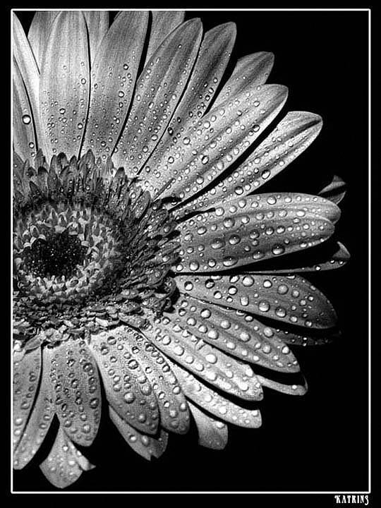 """фото """"О лепестках и каплях"""" метки: природа, черно-белые, цветы"""