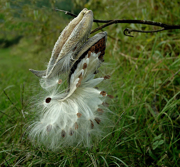"""photo """"Milkweed"""" tags: nature, flowers"""