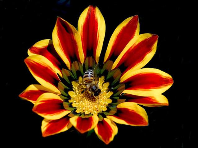 "фото ""A Bee  at work"" метки: природа, путешествия, Африка, цветы"