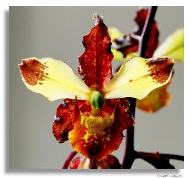 """фото """"Cyrtopodium triste"""" метки: макро и крупный план, природа, цветы"""