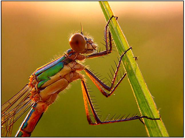 """фото """"dragon"""" метки: макро и крупный план, природа, насекомое"""