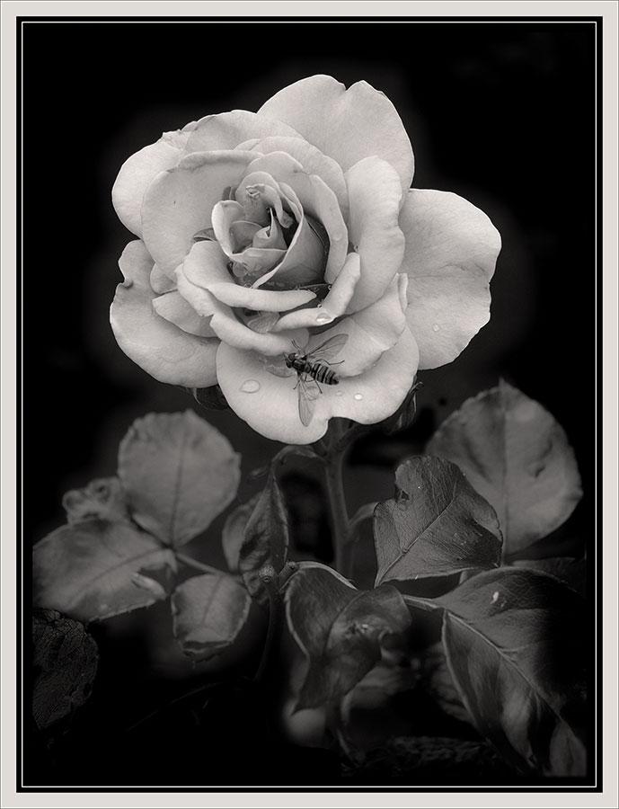 """фото """"Роза и муха"""" метки: черно-белые, природа, цветы"""