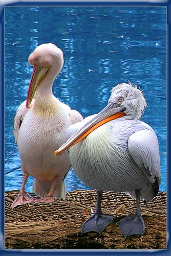 """фото """"пеликаны"""" метки: природа, дикие животные"""
