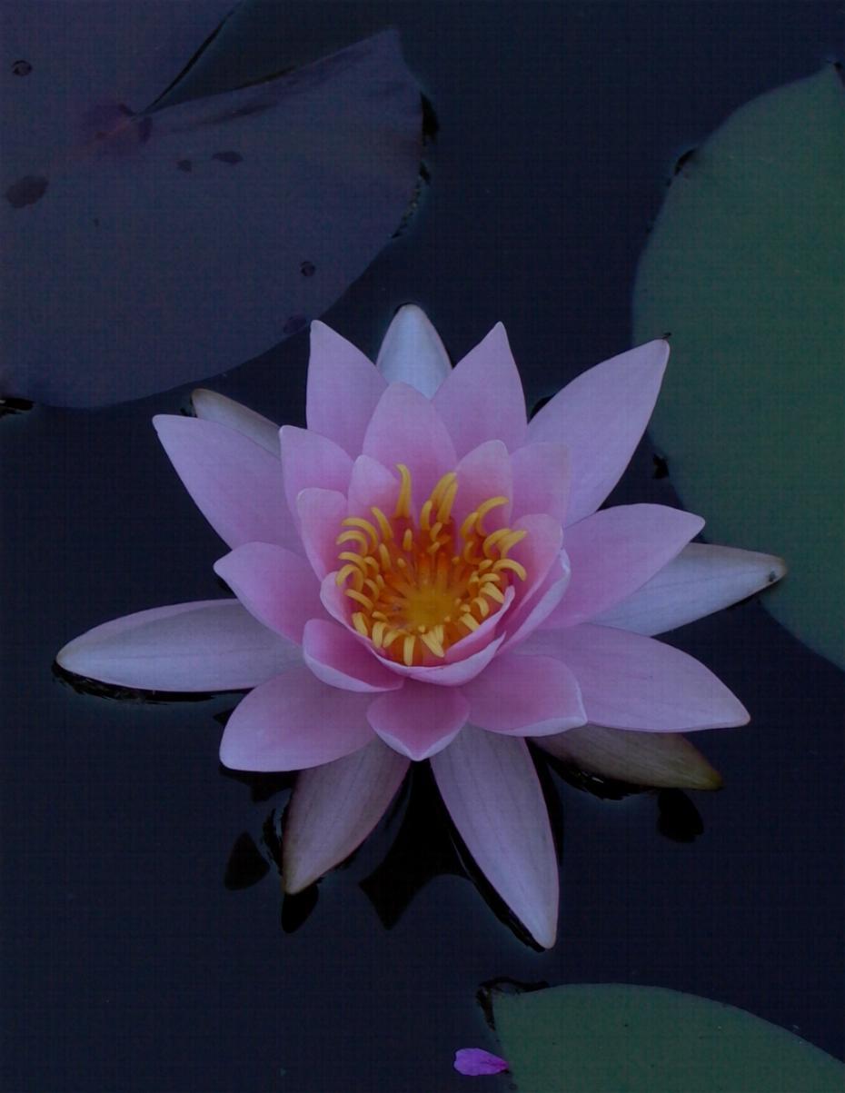 """фото """"Водяной"""" метки: природа, цветы"""