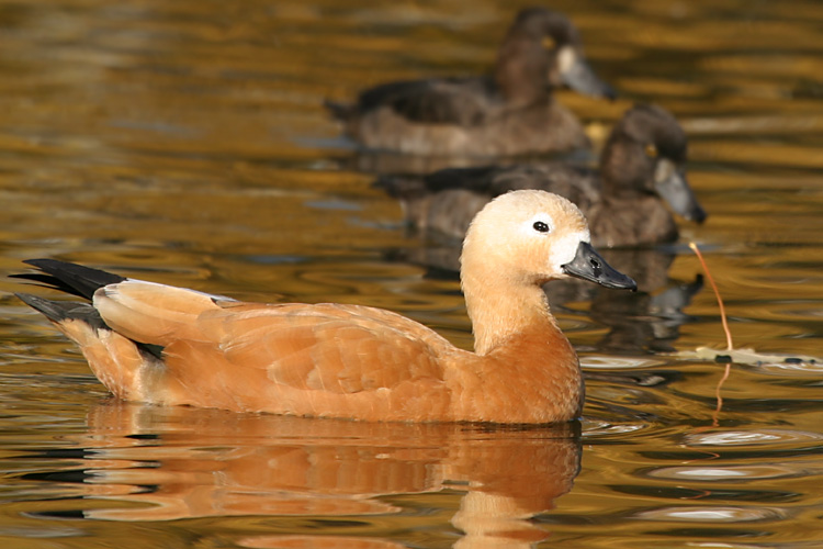 """фото """"Золотая утка"""" метки: природа, дикие животные"""